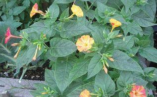 gardening fowers backyard fouroclock, flowers, gardening, Ajantha s Garden Four o clock flower