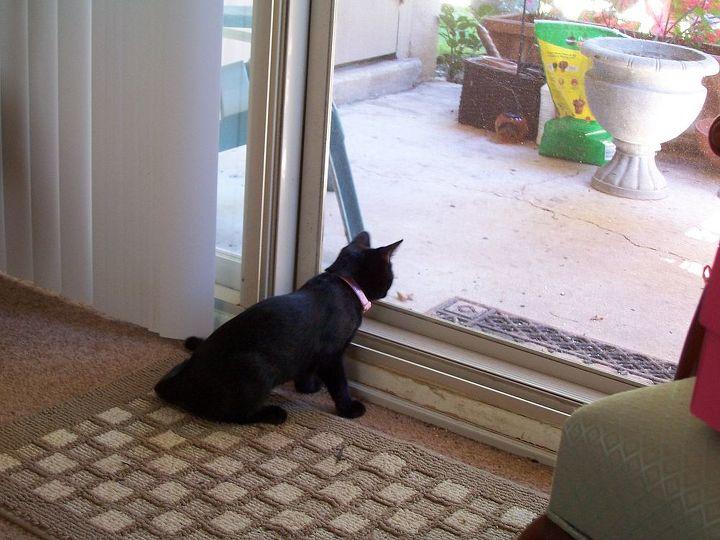 bombay cat, flooring, pets animals