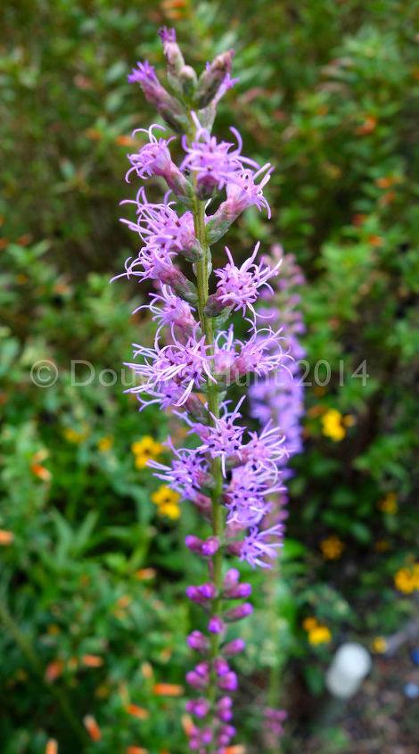 gardening uncultivated liatris, flowers, gardening