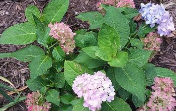 If You Love Hydrangeas, Then You Need to Have This One!