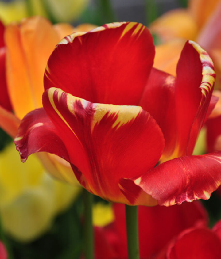 gardening tips spring bulbs tulips problems, flowers, gardening