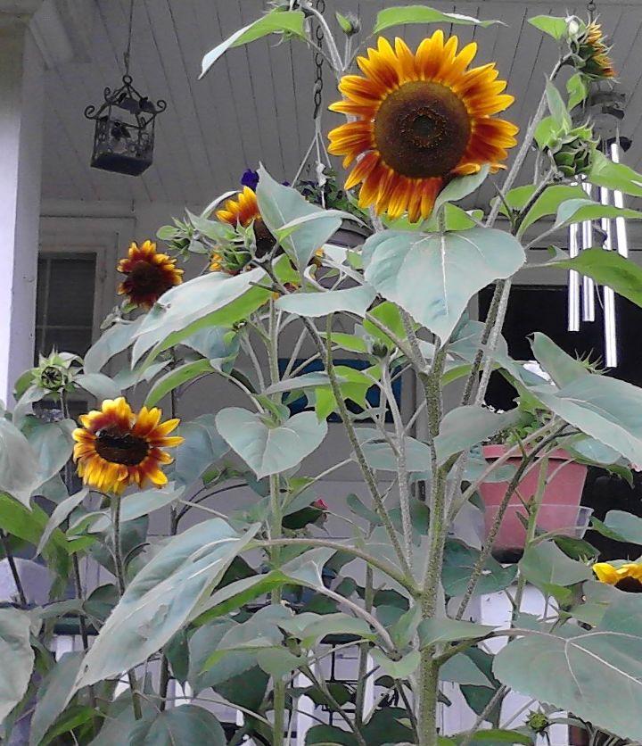 sunflowers garden flowers ohio, flowers, gardening