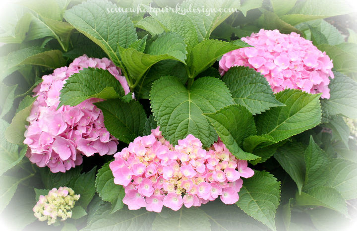 i m going to be transplanting some 4 year old hydrangeas, gardening