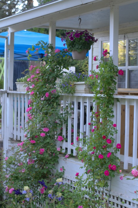 Fall Pruning Of Climbing Roses Hometalk