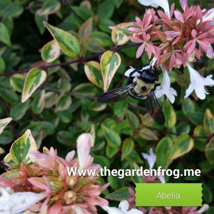 Abelia A Fragrant Mid To Fall Blooming Shrub Hometalk