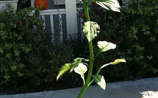 shirley bovshow s monster plants for halloween, crafts, gardening, halloween decorations, seasonal holiday decor
