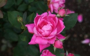 gardening pruning rosesknockout, flowers, gardening, Double Pink Knockout Rose