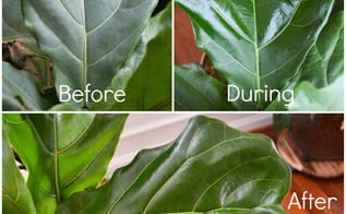 how to take care of your fiddle leaf fig tree, container gardening, gardening, how to