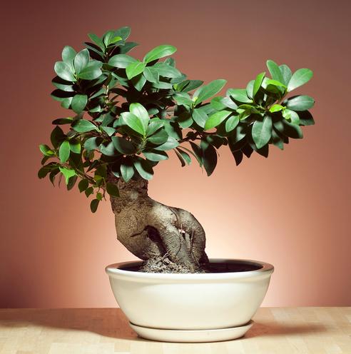 Different Types Of Indoor Bonsai Trees Hometalk