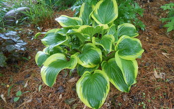 fall cleanup of hosta, gardening, landscape, perennial, Hosta Queen Josephine in Spring