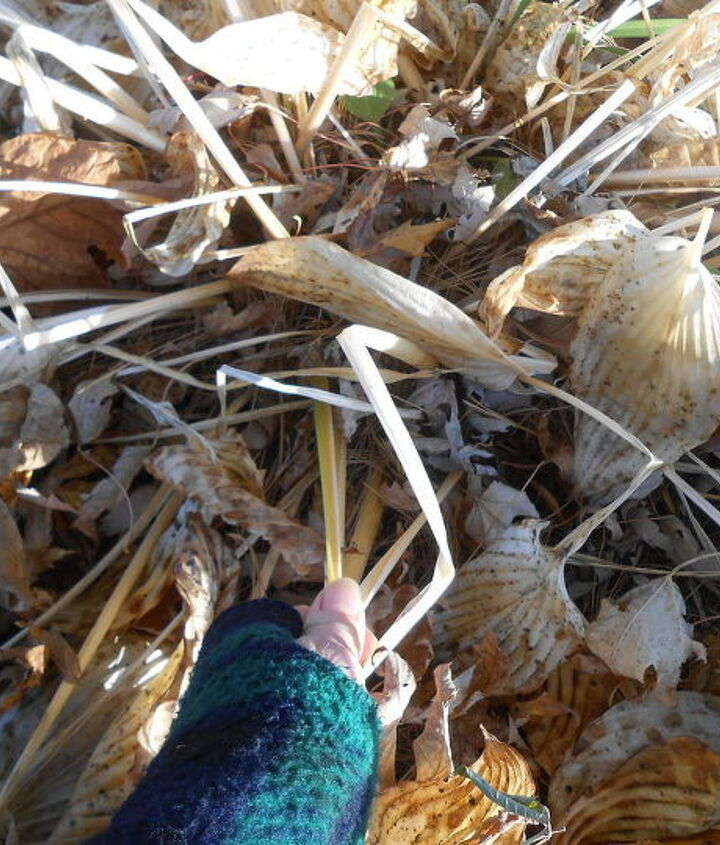 fall cleanup of hosta, gardening, landscape, perennial