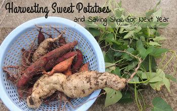 Harvesting Sweet Potatoes and Saving Slips