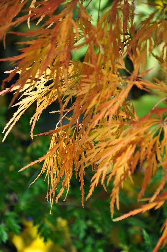 A Japanese Maple in my garden