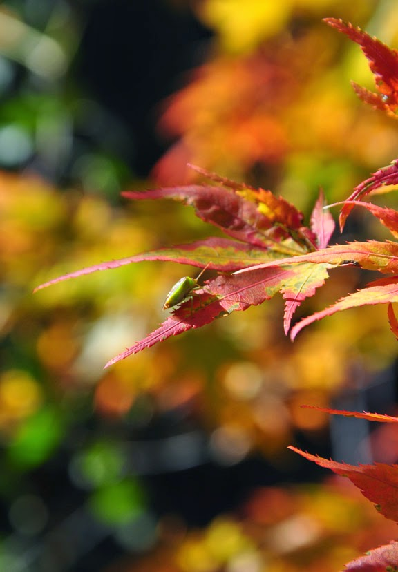 japanese maples plant growing care, flowers, gardening, landscape
