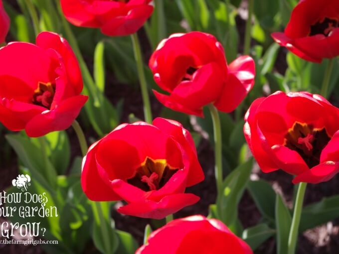 tips for planting spring bulbs, flowers, gardening