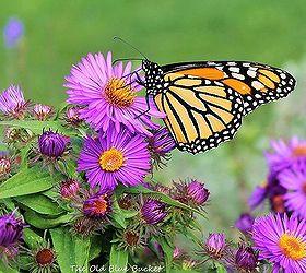 Fall Asters Gardening Tips, Flowers, Gardening, Perennial