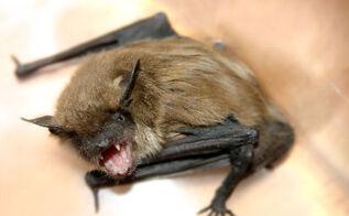 a few secrets about bat raccoon and possum removal, pest control, pets animals