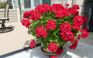 how to save and store geraniums, flowers, gardening, how to, storage ideas, 5th year and going strong