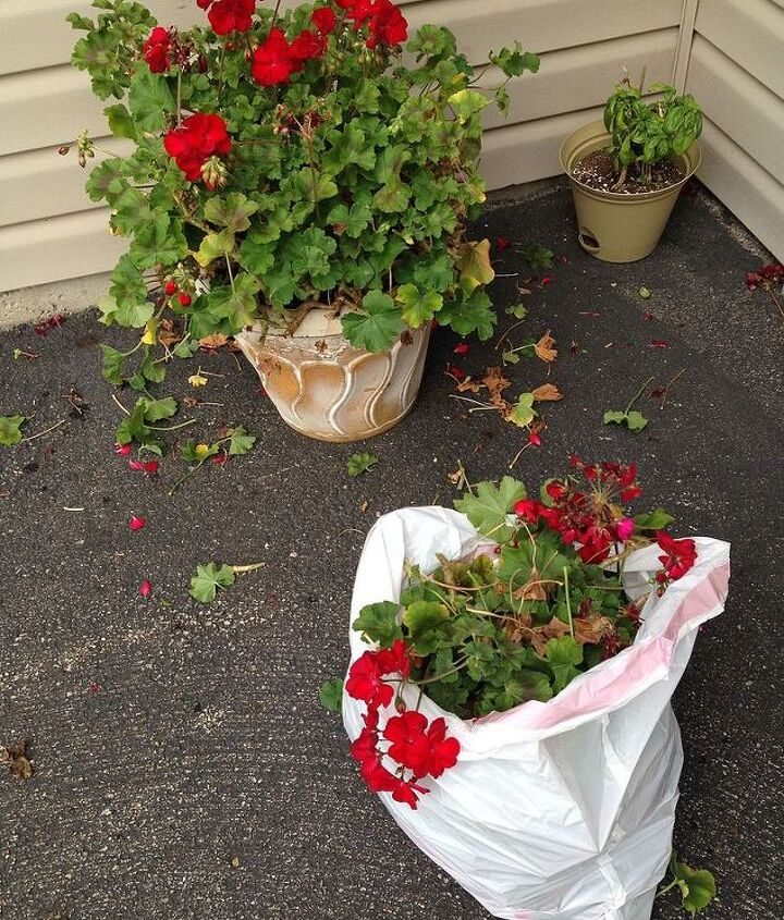 how to save and store geraniums, flowers, gardening, how to, storage ideas