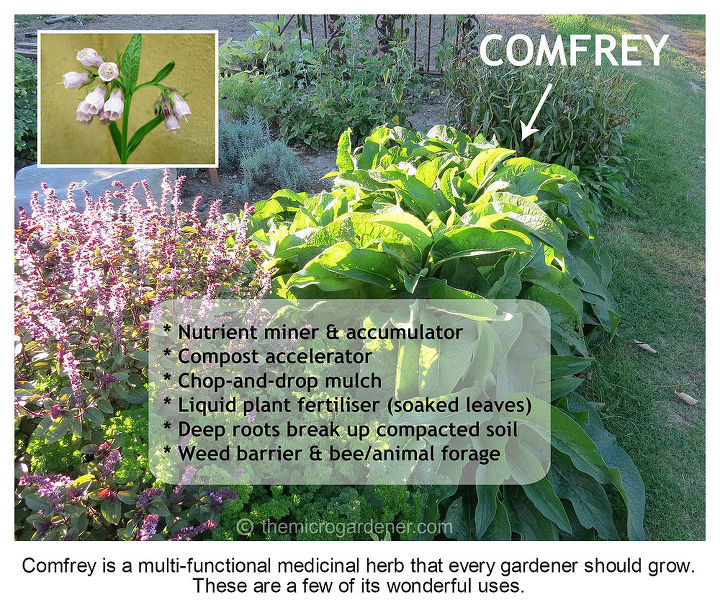 Comfrey grows easily from seed/root cuttings