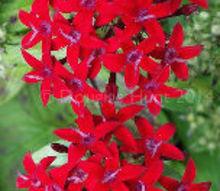 christmas plants happy pentas mas, christmas decorations, flowers, gardening, outdoor living, seasonal holiday decor
