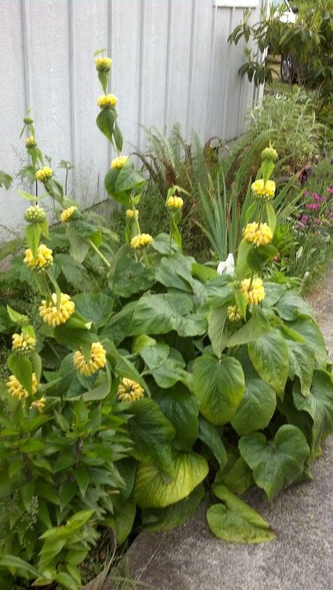 q how to recognize a phlomis perennial plant, flowers, gardening, perennial, The leaves at the bottom are large