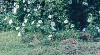 q cherokee rose, flowers, gardening, I have had so many opinions on a simple plant After reading from other people who planted and how they feel about it I think all plants have a place