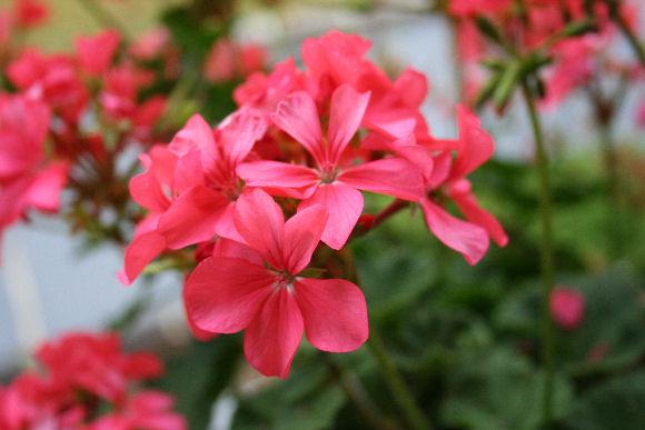 Growing geraniums indoors hometalk growing geraniums indoors flowers gardening home decor mightylinksfo