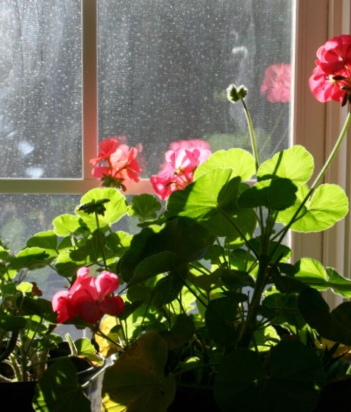 growing geraniums indoors, flowers, gardening, home decor