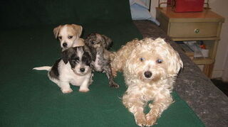 , Noel first born girl back left then Angel Brindle second born girl my darling last born boy white black not sure if I am naming him Jack Starkey or Spot what do you think