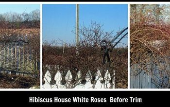 Rose Gardens: Trimming The White Roses