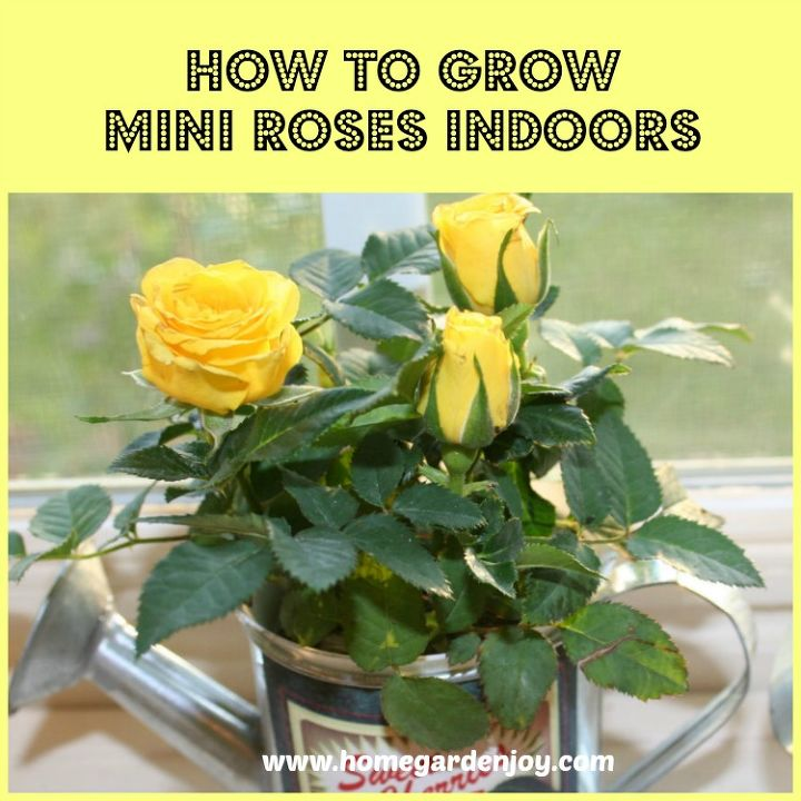 How to grow mini roses indoors hometalk how to grow mini roses indoors flowers gardening how to workwithnaturefo