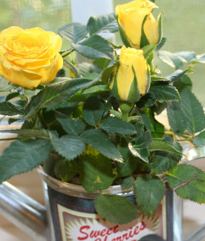 how to grow mini roses indoors, flowers, gardening, how to