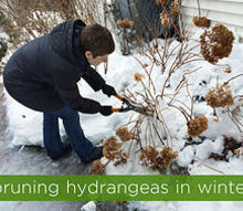 pruning hydrangeas in winter smart move or amateur mistake, flowers, gardening, hydrangea