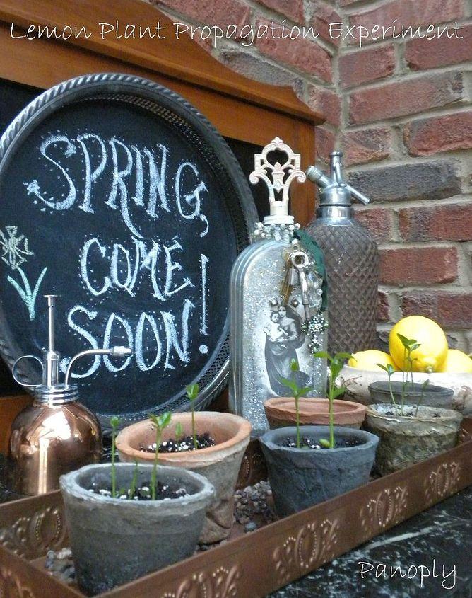 lemon plant propagation experiment, gardening, homesteading