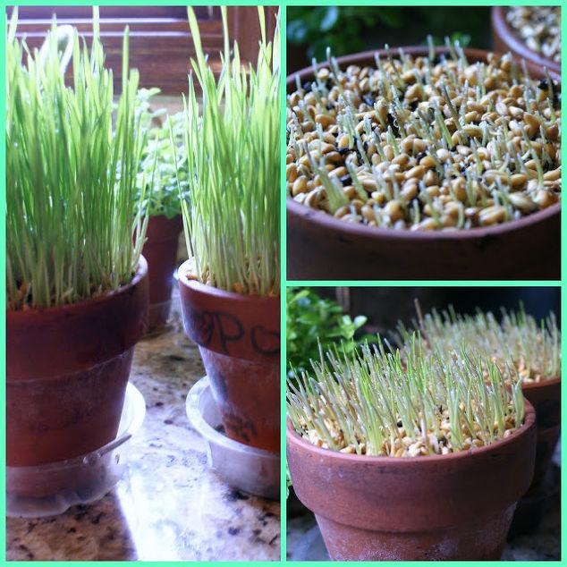 How to grow ornamental wheat grass hometalk spring redefined ornamental wheat grass 101 container gardening gardening home decor terrarium workwithnaturefo