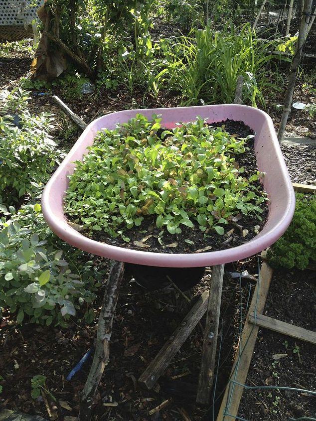 salad garden in old wheelbarrow, container gardening, gardening, homesteading, repurposing upcycling