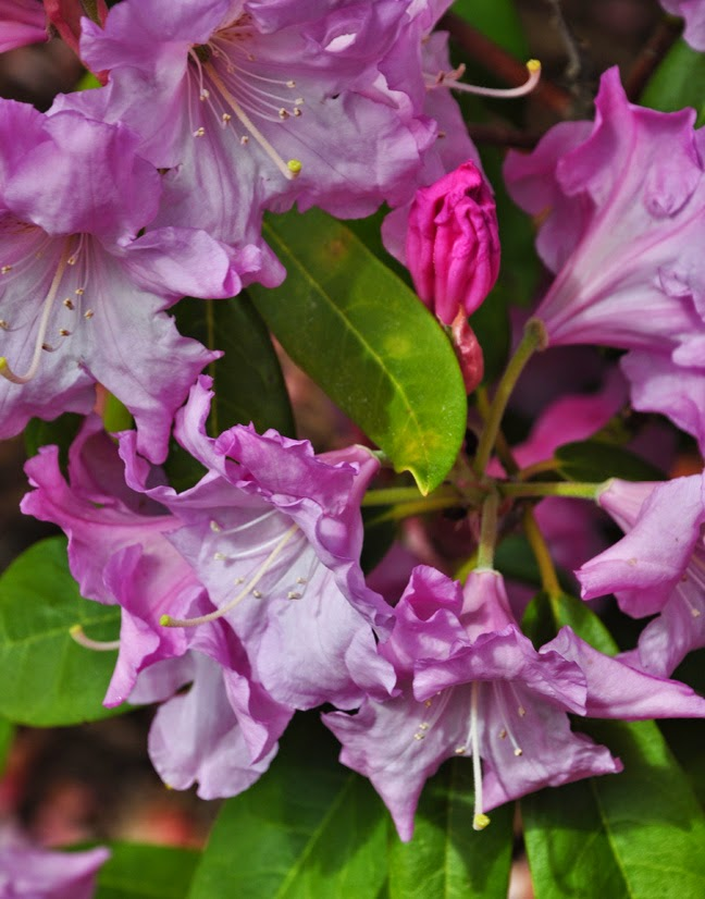 how to grow azaleas and rhododendrons, flowers, gardening, how to