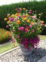 Planting two different height zinnias in same pot? | Hometalk on