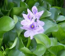 aquatic pond plants in the rochester ny area information advice, gardening, ponds water features, Water Hyacinth work great to remove nutrients