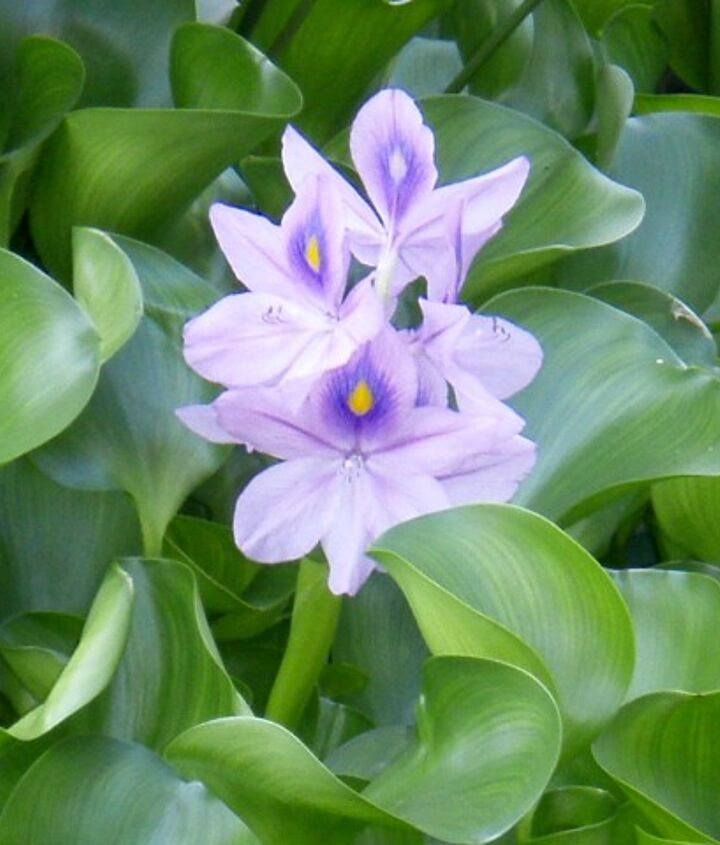 Water Hyacinth work great to remove nutrients