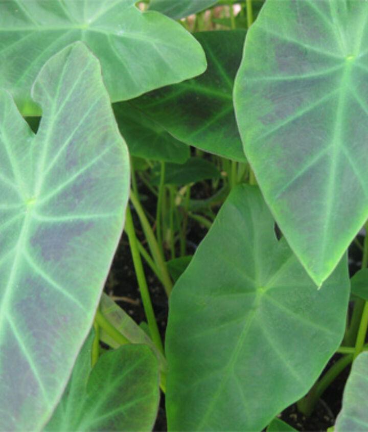 Taro pond plants.
