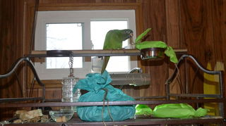 , Azul the Magnificent our Blue Crown Conure