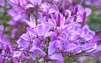 How to Grow Cleome