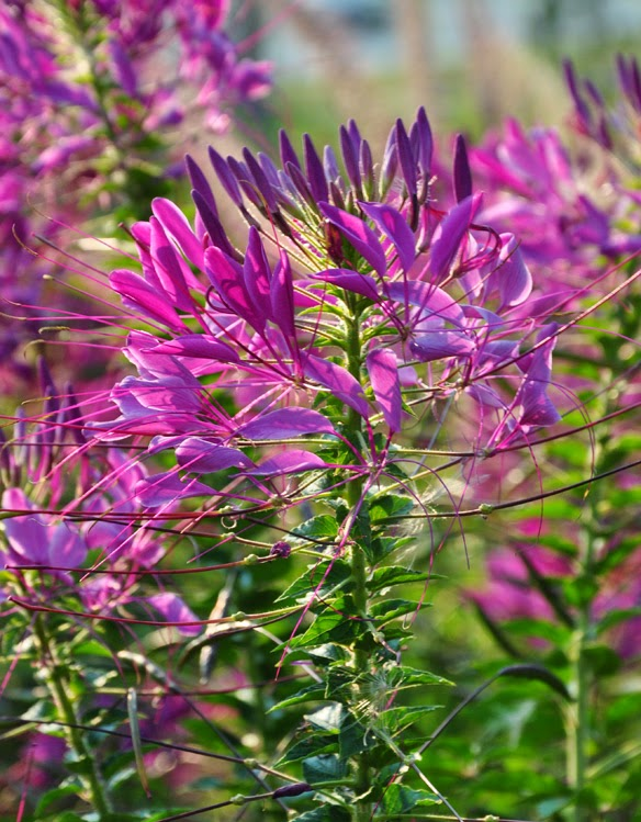 how to grow cleome, flowers, gardening, how to