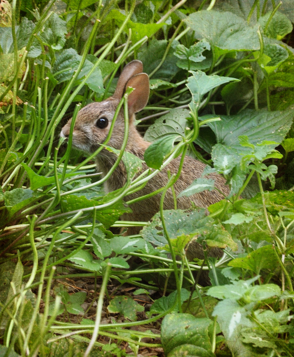 somebunny has been eating my veggies, gardening, homesteading, pets animals