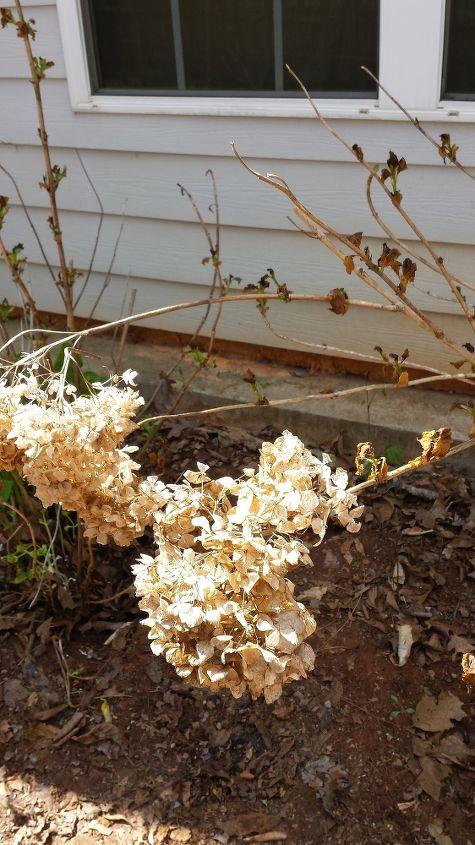 q pruning hydrangeas, flowers, gardening, hydrangea