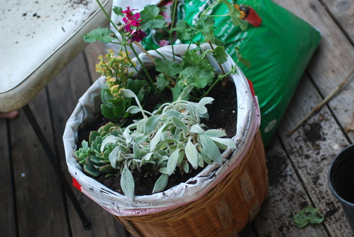 salvaged wicker basket turned planter, container gardening, flowers, gardening, repurposing upcycling