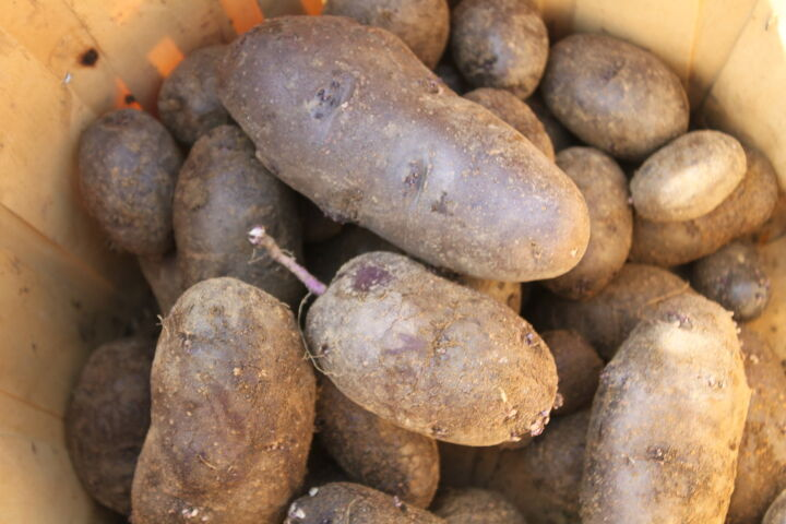 growing potatoes with homemade potato crates vertically, container gardening, gardening, homesteading, how to, repurposing upcycling, Some of our Purple Potato Harvest
