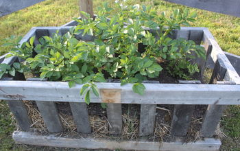 growing potatoes with homemade potato crates vertically, container gardening, gardening, homesteading, how to, repurposing upcycling, Our trial potato crates from last year